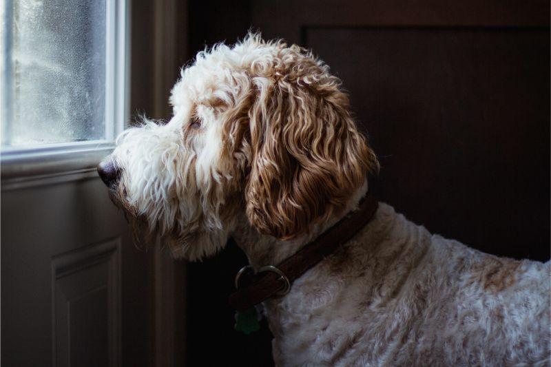 A floofy dog stares out the window of a door, waiting for its owners' return