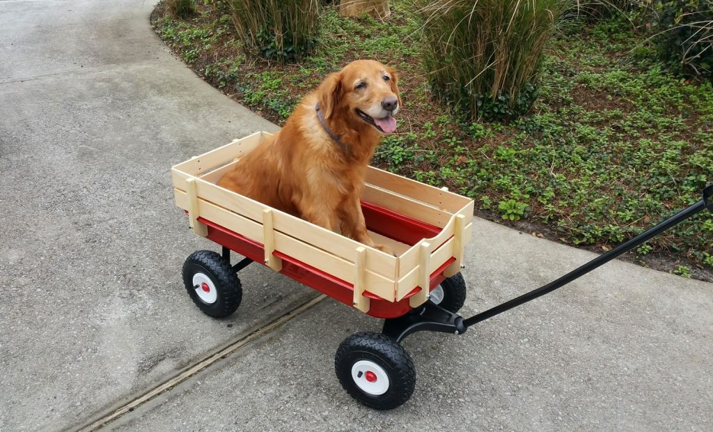 A golden retriever sits in a red toy wagon. Proper senior pet care is vital to ensure a long and healthy life for your furry friends.