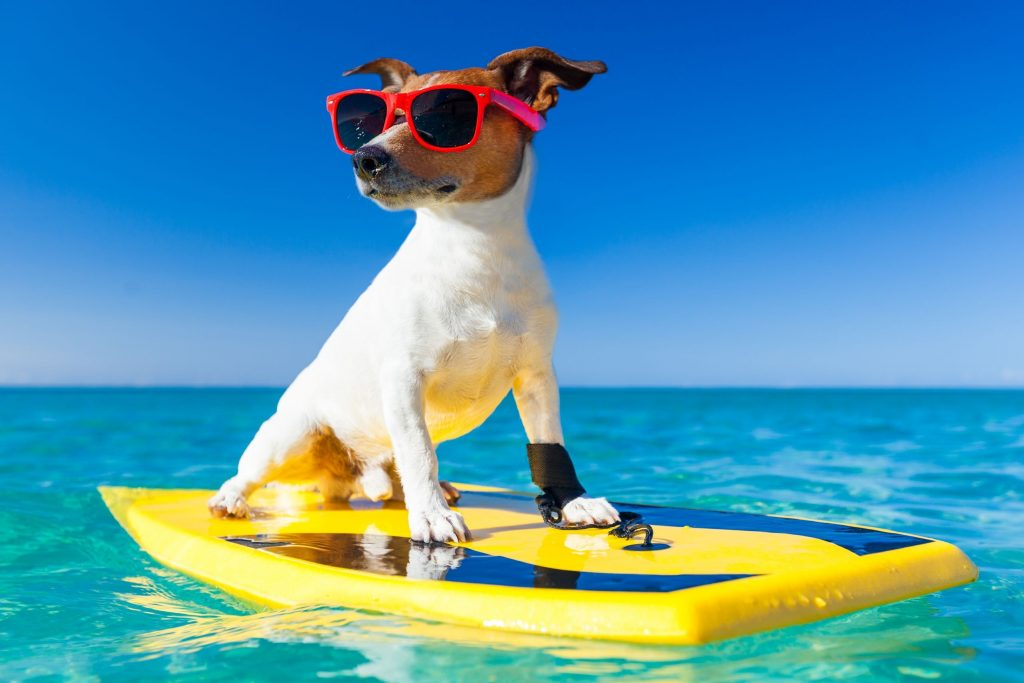 A pet dog on vacation, riding a surfboard with some cool pink shades!